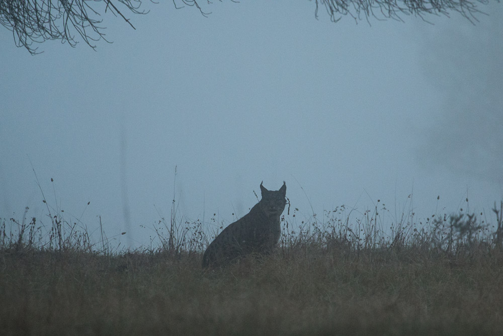 Lynx in the mist
