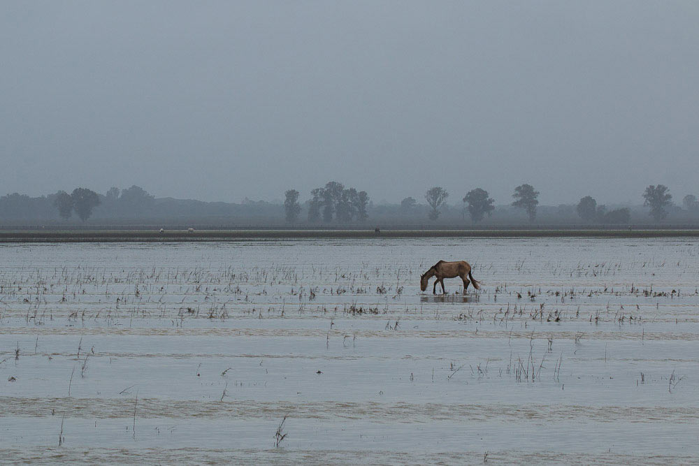 Mare in the flooded marshes