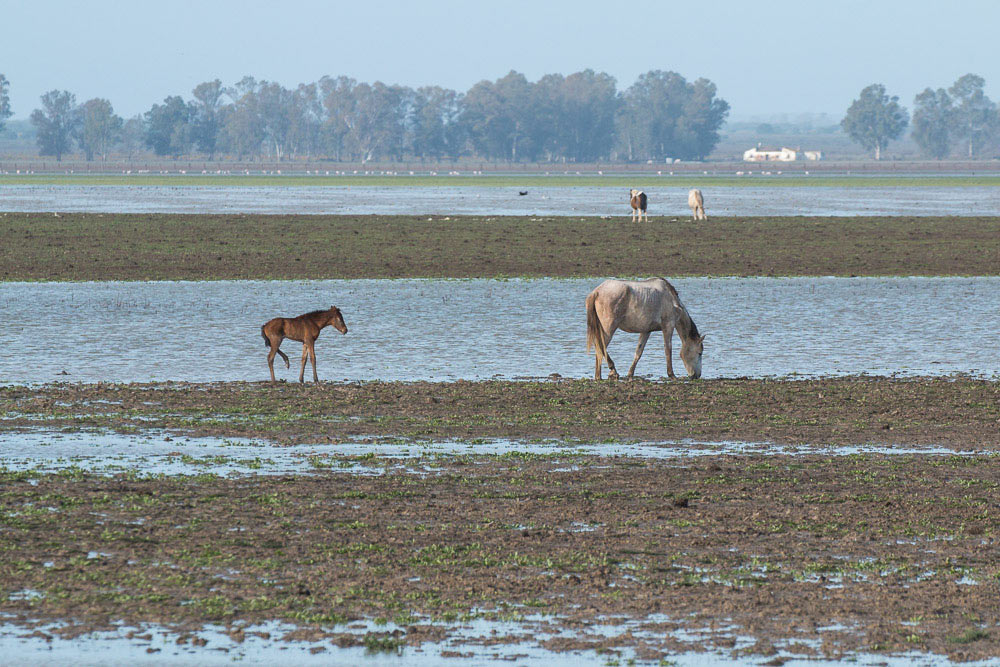 Mare and foal in the marshes