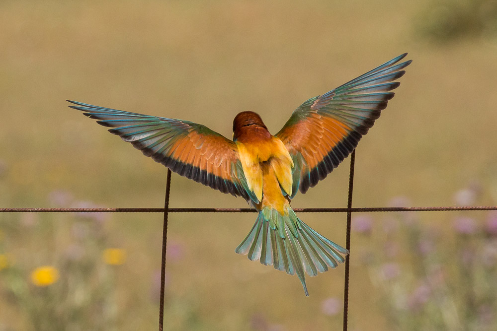 Bee-eater with extended wings seen from behind