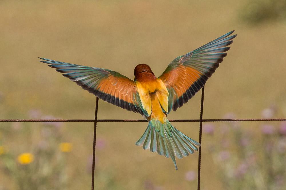 abejaruco-alas-abiertas