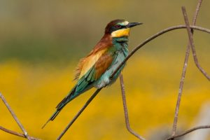Bee-eater perched on a wire with yellow background