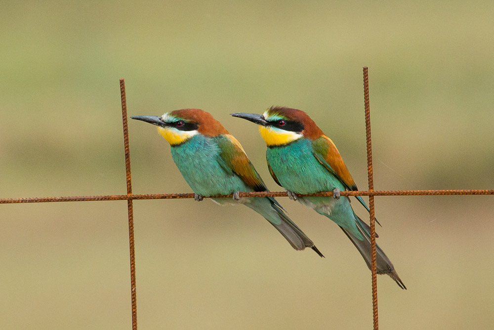 abejaruco-pareja-malla