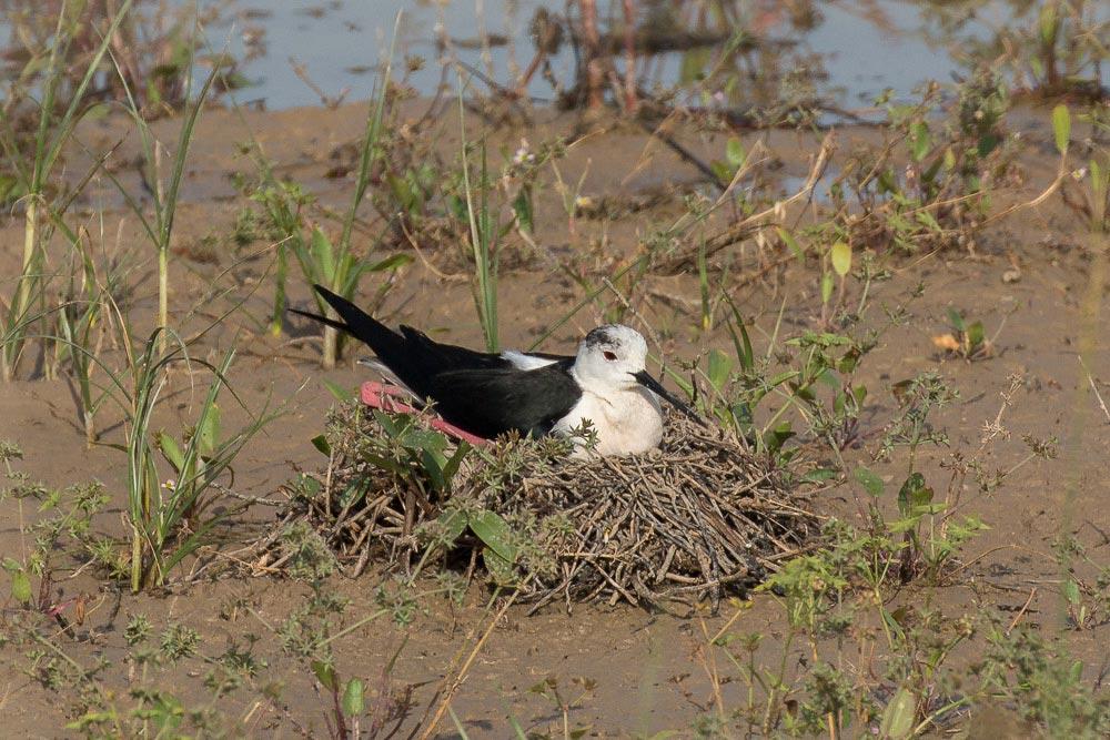 Black winged stilt on its nest