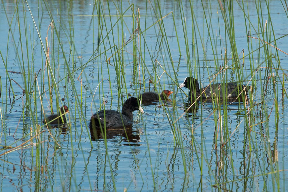 Family of coots among the reeds