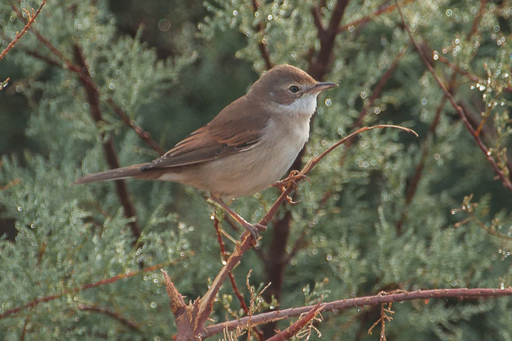 Whitethroat perched on a branch