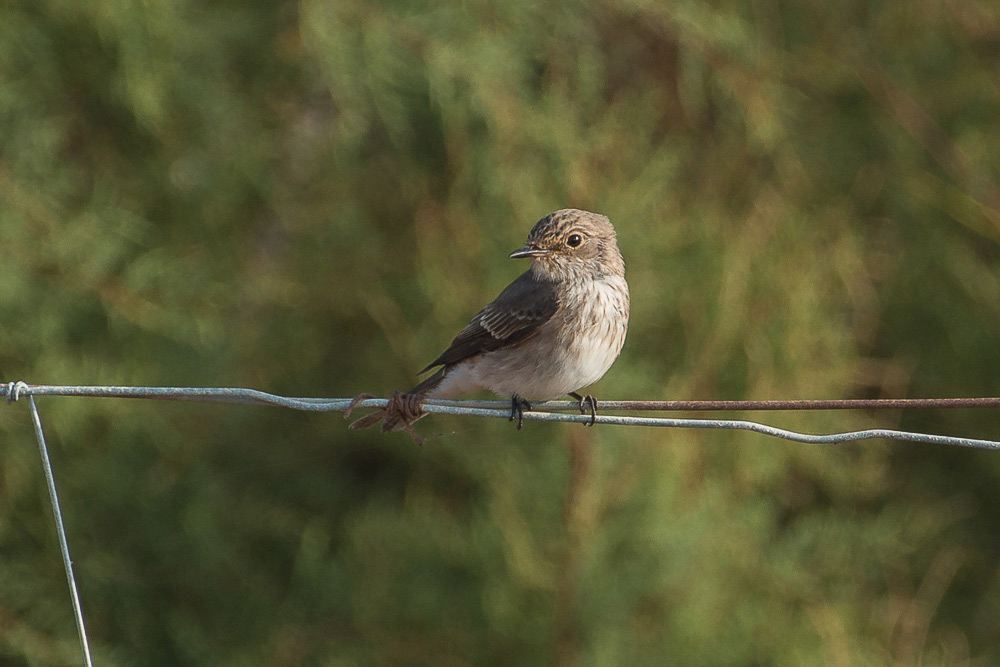 Spotted flycatcher perched on a wire