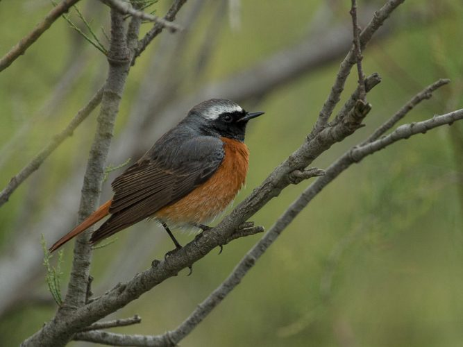 Male redstart perched on a branch