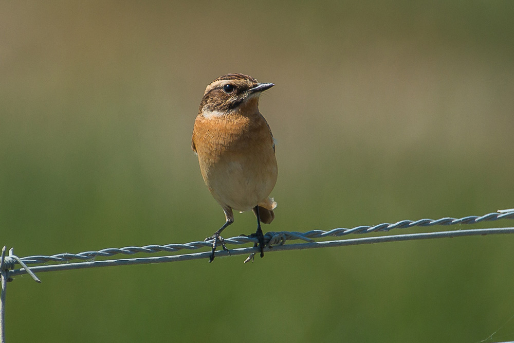Whinchat perched on a wire