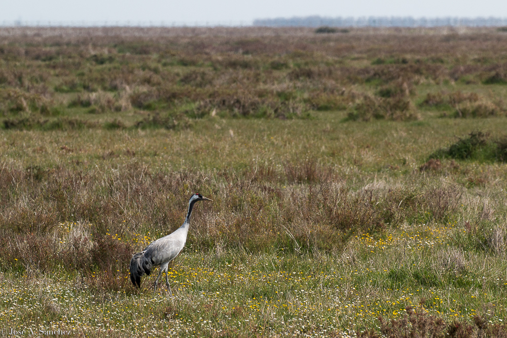 Crane in the marshes
