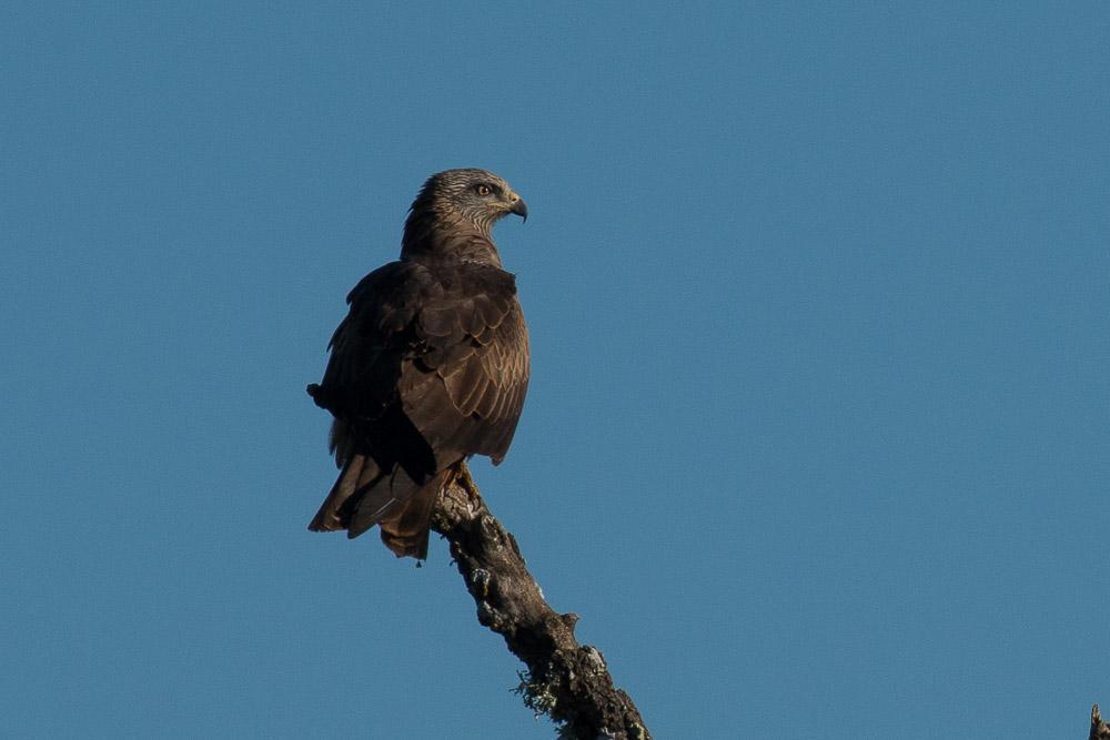 Milano negro posado sobre una rama