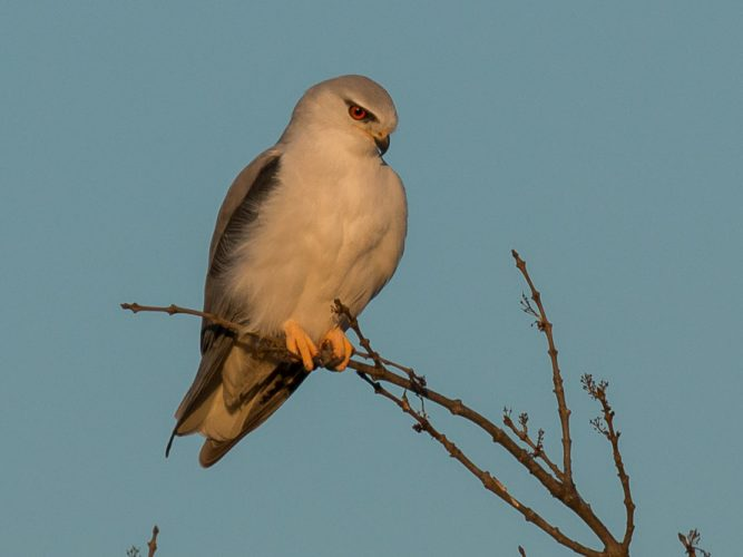 Black winged kite under the sunrise light