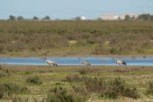 A family of cranes moving across the marshes