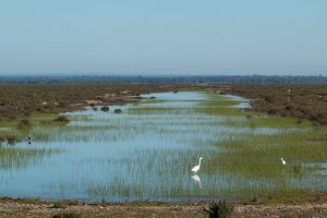 A great egret in the water with green reeds