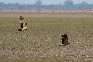 A pair of juvenile Spanish imperial eagles flying low over the dry marshes