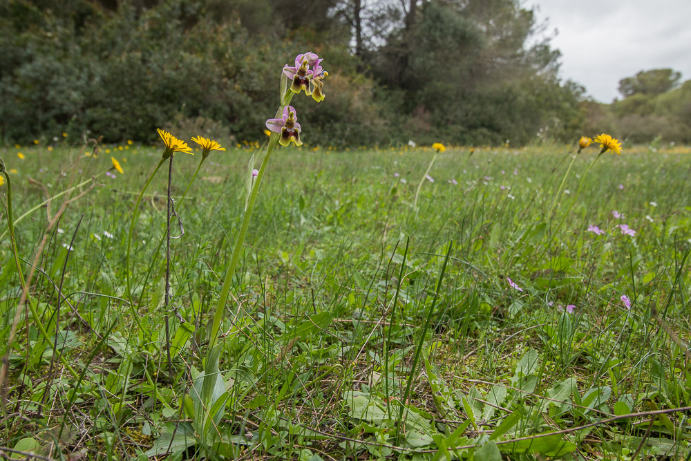 An orchid in a meadow among other flowers