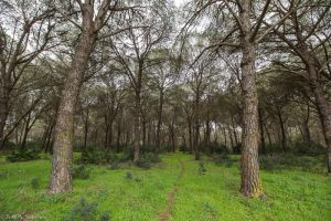 A deer path going into the pine forest
