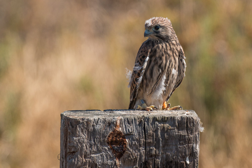 Young common kestrel