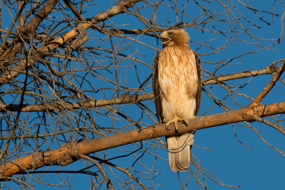 Aguila calzada posada con la boca abierta