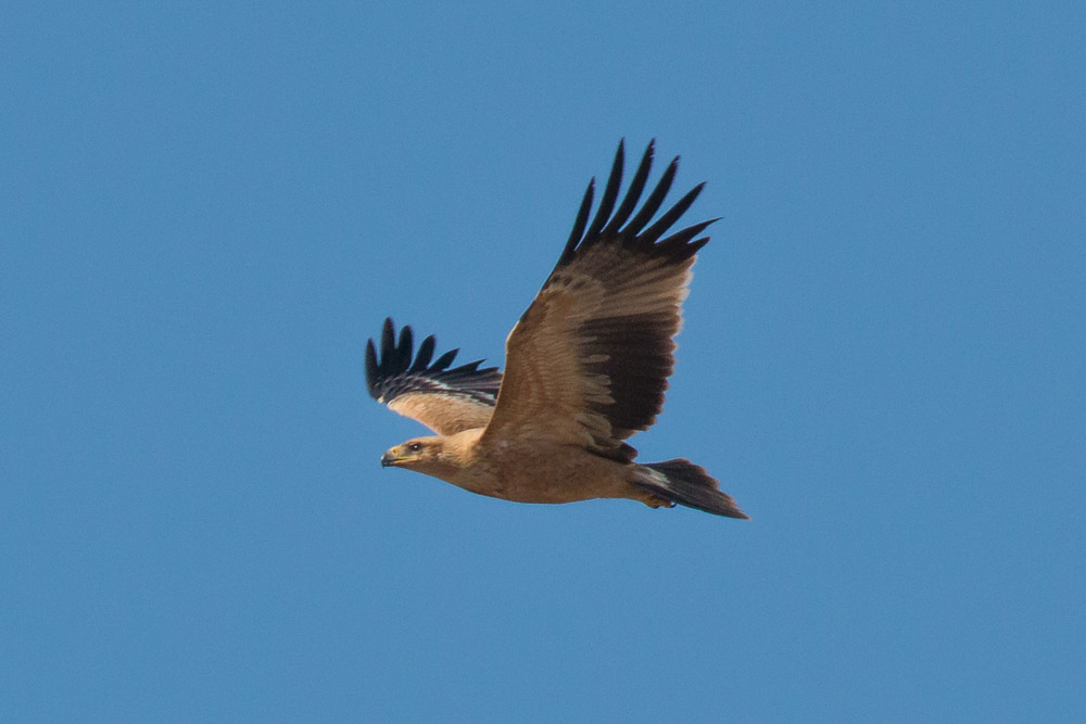 Juvenile Spanish Imperial Eagle