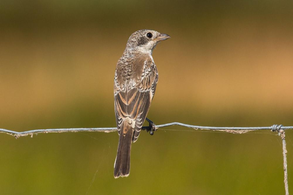 Young woodchat shrike