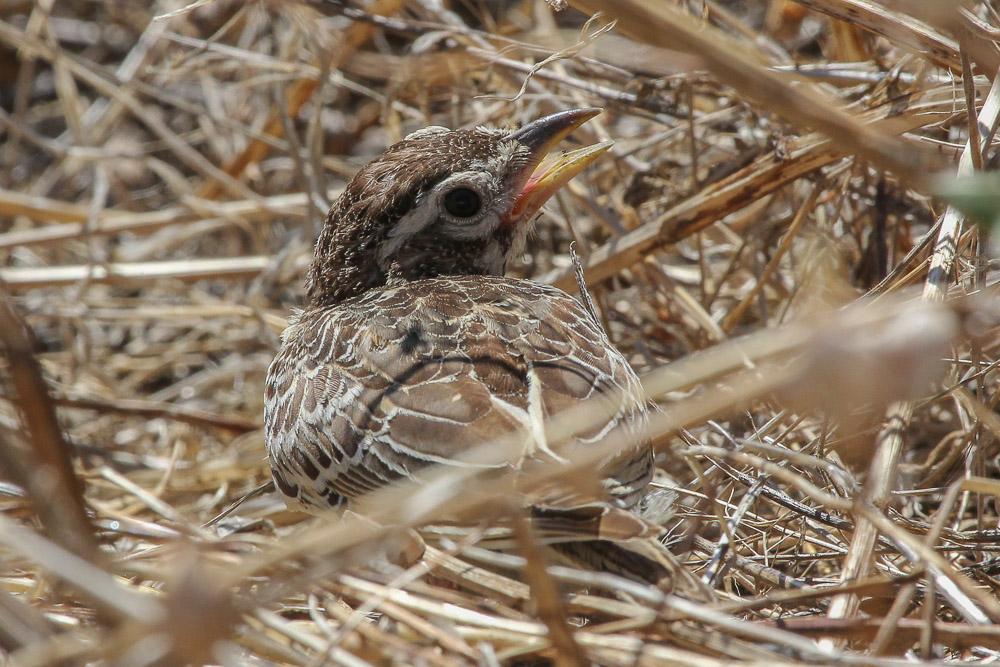Juvenile calandra lark