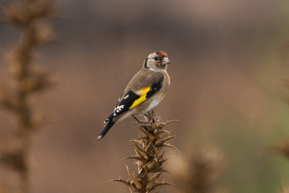Juvenile goldfinch perched on a thistle