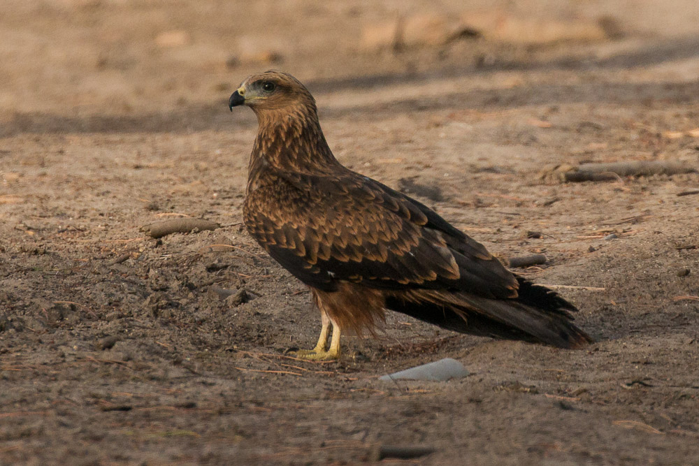 Immature black kite on the ground