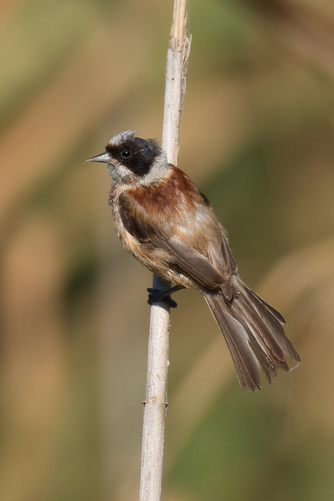 Young penduline tit perched on a reed