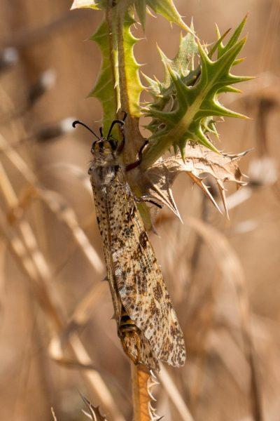 Adulto de palpares libelluloides