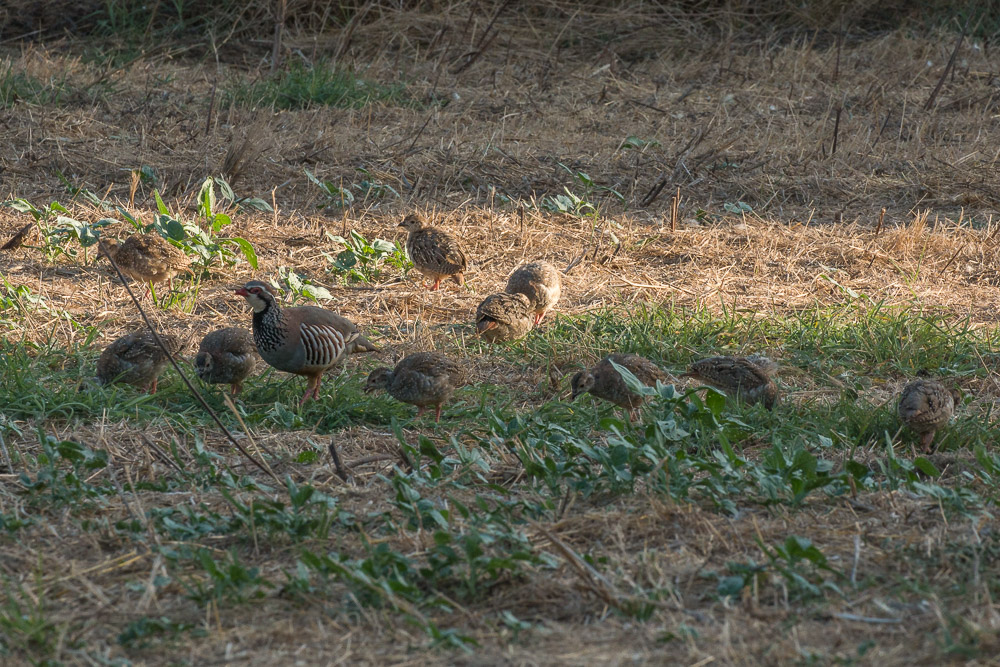 Red-legged partridge with 10 chicks