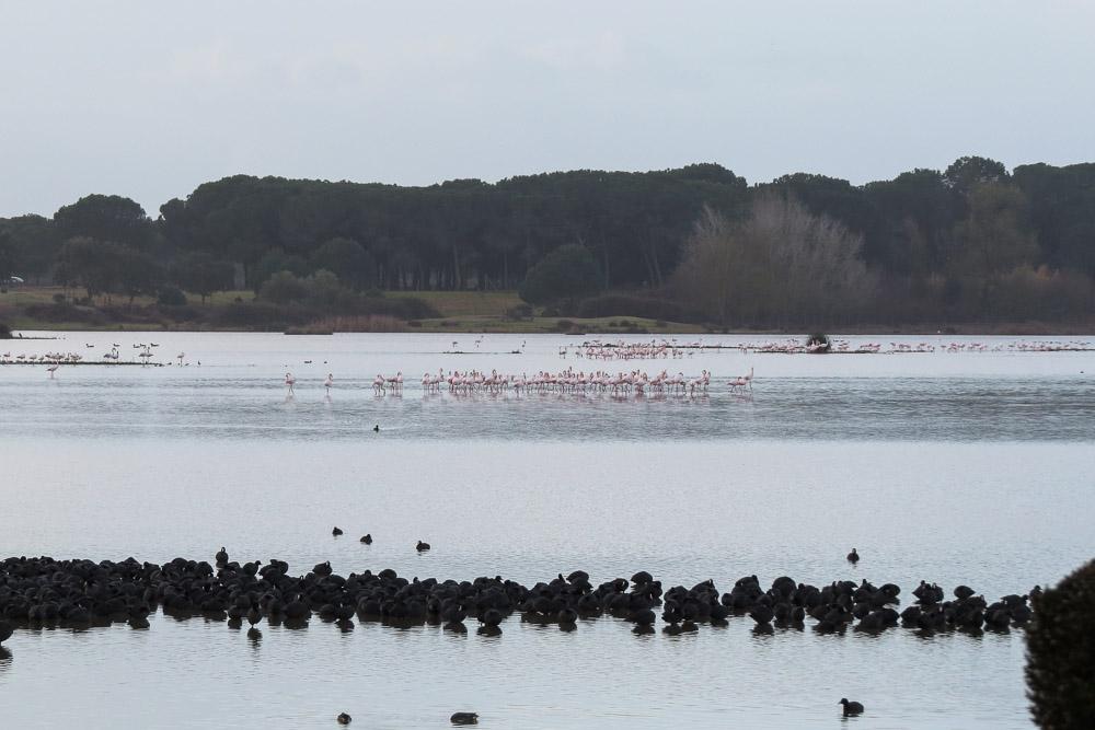 Bando de fochas y flamencos en la marisma