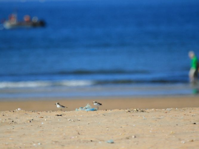 Two Kentish plovers on the beach with the sea in the background