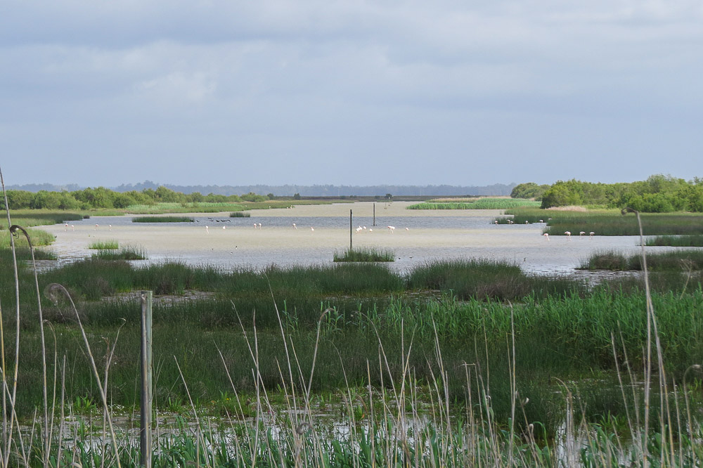 Flooded marshes with group of flamingos