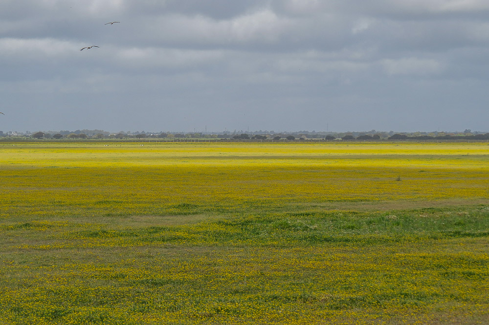 Marsh landscape with a carpet of yellow flowers
