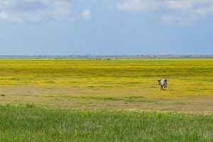 A solitary cow walking across a yellow carpet of daisies
