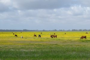 Herd fo cows in the yellow marshes