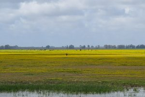 Yellow marshes with cows in the distance