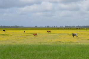 Group of cows grassing in the marshes