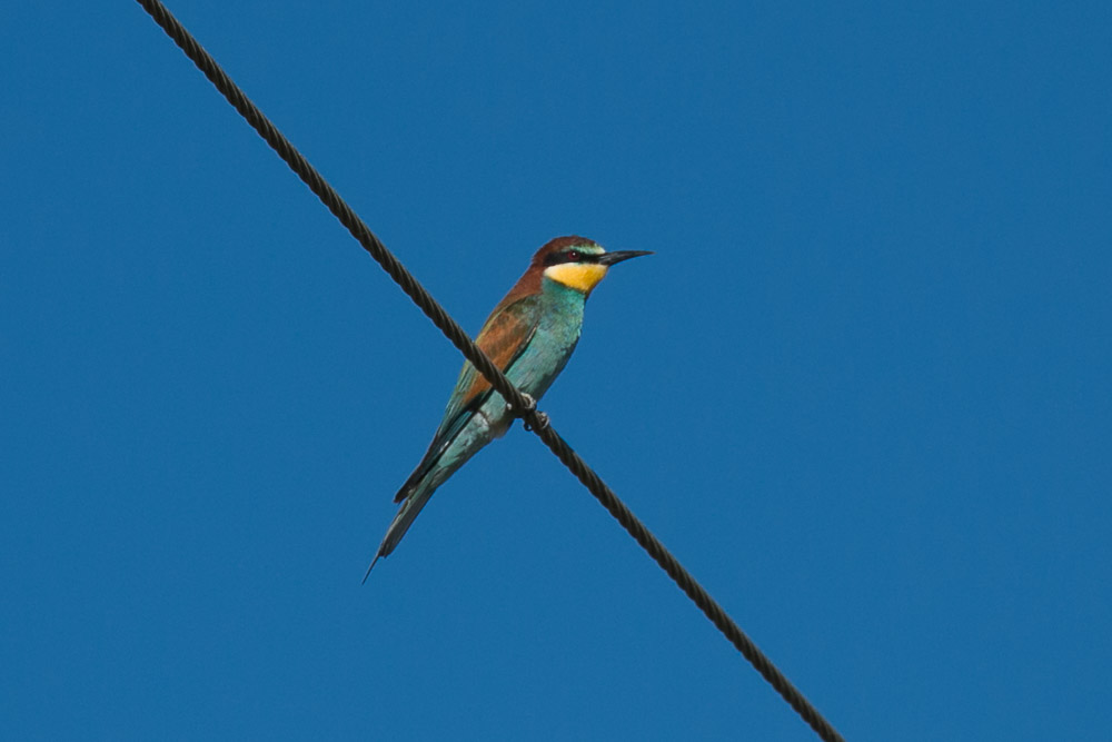 Bee-eater on an electric wire