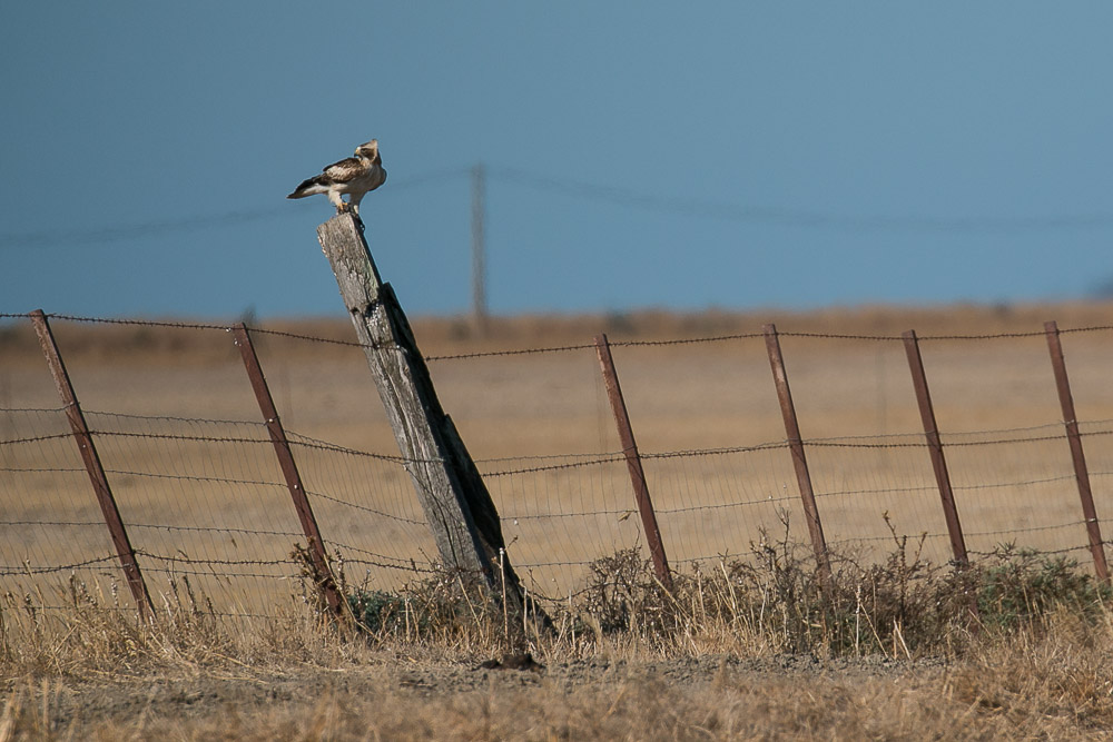 Booted eagle eating on a fence post