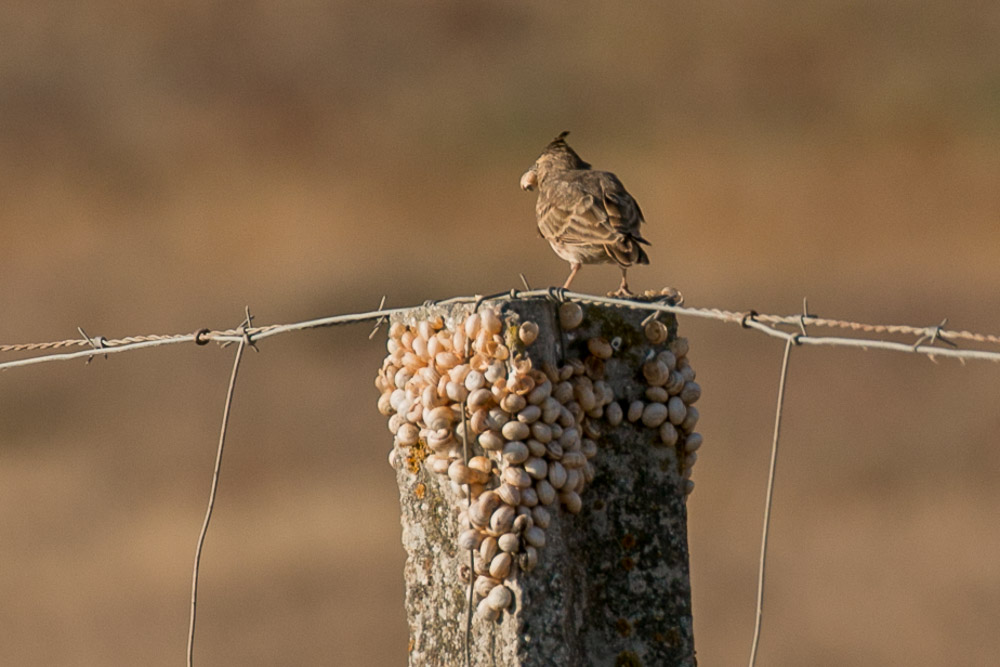 Crested lark perched on a fence post feeding on snails