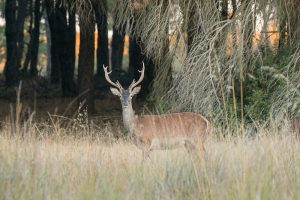 Red deer in the pine forest