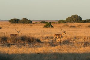 Male red deer in the grassland