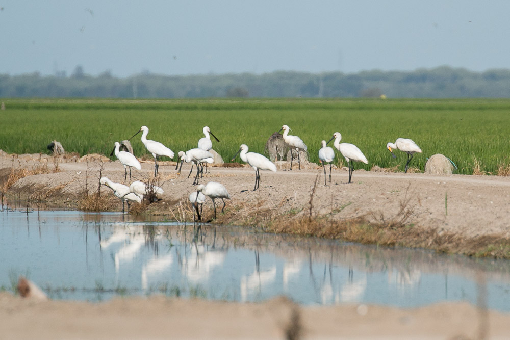 Group of spoonbills next to canal