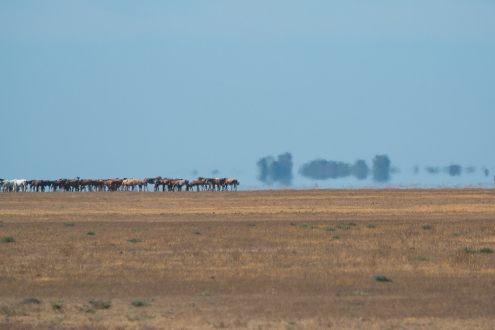Mirage in the marshes with horses