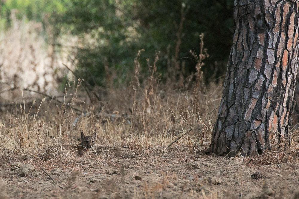 Cachorro de lince tumbado junto a un pino