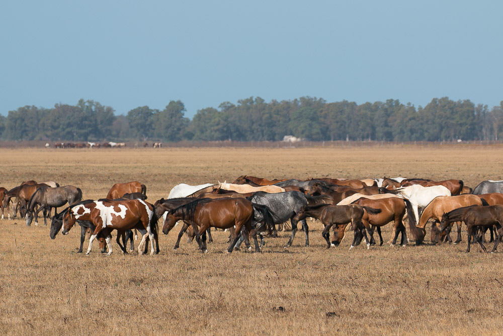 Group of mares in the dry marshes